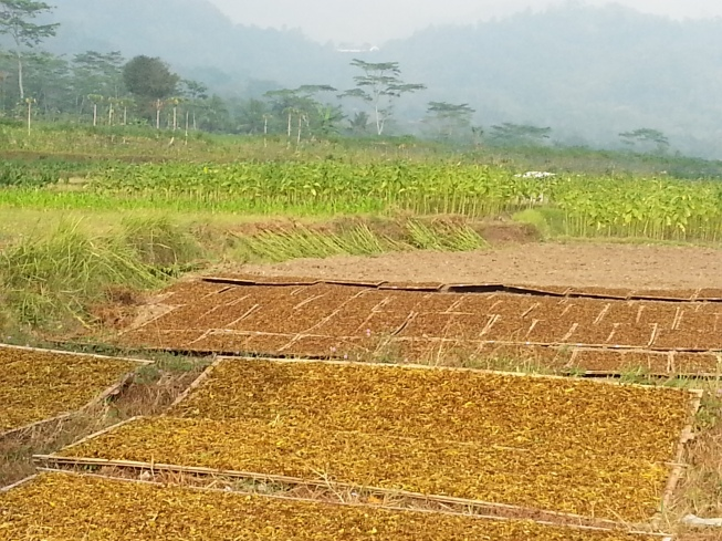 Growing tobacco in the background, drying in the foreground...