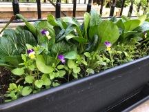 Growing edible pansies and Komatsuna